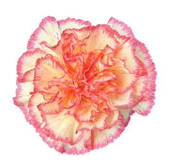 Bi-Color-Carnation-Yellow-Pink-Red